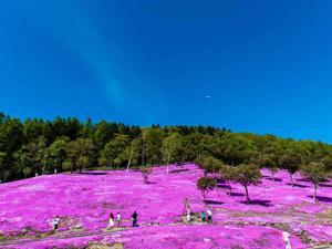 ■「芝ざくら滝上公園」の芝ざくらは10万平方メートルの大群落。そのスケールは日本最大規模を誇ります。