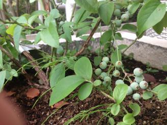 ベランダでブルーベリーを栽培しています。受粉も手作業。感慨もひとしおです。