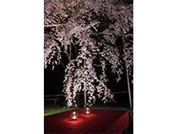日本の四季を愛でる企画(夜桜の貸切イベント